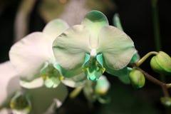 Ibrido di phalaenopsis verde chiaro Fotografia Stock