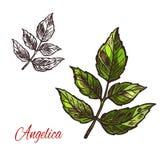 Icône d'usine de croquis de vecteur d'herbe d'épice d'angélique officinale illustration stock