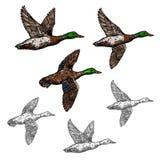 Icône sauvage d'oiseau de croquis de vecteur de canard de Mallard illustration libre de droits