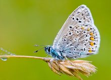 Icarus blue. A common blue butterfly (  Polyommatus icarus ) covered in dew drops Royalty Free Stock Photos