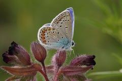 icarus polyommatus Fotografering för Bildbyråer