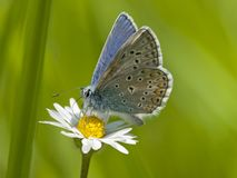 Icarusblauwtje, Common Blue, Polyommatus icarus stock photography