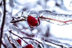 Ice age. Frozen wild rose at the end of winter Royalty Free Stock Image