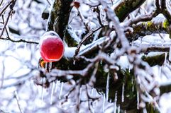 Ice age. Icerain effect caught apple on tree Royalty Free Stock Image