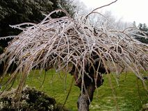 Ice Age. Unique and beautiful umbrella tree, this Weeping Mulberry or Morus Alfa is covered in ice during a spring storm Stock Image