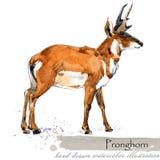 Ice Age wildlife. prehistoric period fauna. Pronghorn. Hand drawn watercolor animal stock illustration