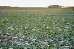 Ice on agricultural field. Stock Images