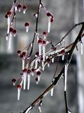 Ice on an apple-tree Royalty Free Stock Photo