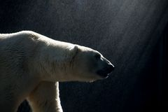Polar bear walking in the rain during sunshine Stock Image