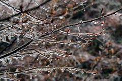 Ice on bare tree branches. Tree branches covered by ice Stock Images