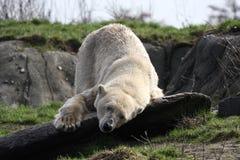 Ice bear. A photo of an ice bear stock images