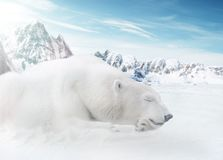 Ice Bear. In mountains at sunny day