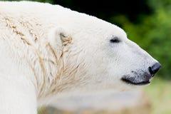Ice bear closeup. Closeup of the head of an ice bear stock photos