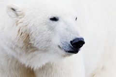 Ice bear closeup Royalty Free Stock Image