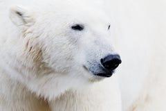 Ice bear closeup. Closeup of an ice bear with shallow depth of field royalty free stock image