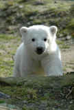 Ice bear Knut Royalty Free Stock Photography