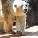 Ice bear lying on the cliffs in the zoo.  stock image