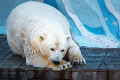 Ice bear lying. On the cliffs in the zoo royalty free stock images
