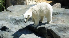 Ice bear. Picture of an ice bear on a rock royalty free stock photo