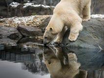 An ice bear, polar bear drinking water. An ice bear, polar bear Ursus maritimus drinking royalty free stock images