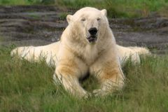 Ice bear relaxing on green grass with closed eyes royalty free stock photography