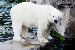 Ice bear on rock. Wet ice bear standing on a rock in the water royalty free stock photos