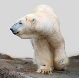 Ice bear. Walking about a rocky ground stock images