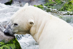 Ice bear in the water Royalty Free Stock Photos