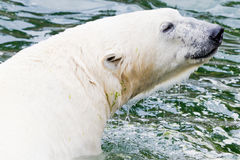 Ice bear in the water. Closeup of the head of an ice bear in the water stock photography