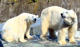Ice Bears. Two ice bear in a zoo enjoying the sun Royalty Free Stock Photo