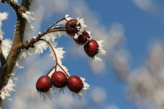 Ice berries. Bird fodder in the winter 2007, in Germany stock images