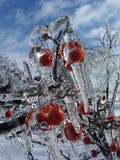 Ice Berries. Berries coated in thick layer of ice royalty free stock photos