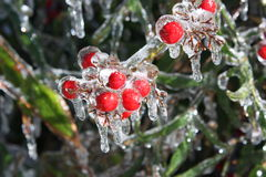 Ice Berries. A picture of some berries shortly following an ice storm Royalty Free Stock Images