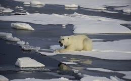 ice biegunowy bear obraz stock