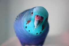 Ice blue Male Parakeet stock photo Royalty Free Stock Images