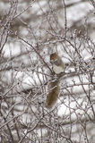 Ice branch squirrel. A squirrel eating on a ice covered branch Stock Photo