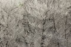 Ice Branches. Fresh snow and ice on the branches of trees royalty free stock photos