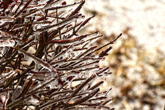 Ice on Branches Stock Image