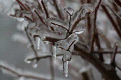 Ice on branches Stock Images