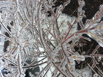 Ice bush Stock Images