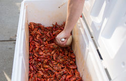 Ice chest full of hot cooked crawfish. Being scooped up stock photography