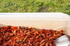 Ice chest full of steaming hot cooked crawfish. Ice chest full of hot cooked crawfish with a stainless scoop stock photos