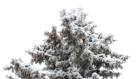 Ice the Christmas tree with pine cones isolate Royalty Free Stock Images