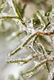 Ice coated cypress branches Stock Photos