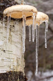 Ice coated mushrooms after an ice storm. Stock Images