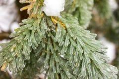 Ice Coating on Pine Tree Royalty Free Stock Photo