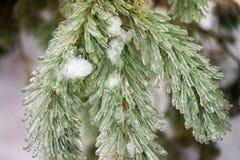 Ice Coating on Pine Tree Royalty Free Stock Photography