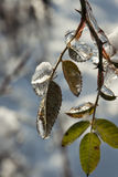 Ice Cold Leafs. After a rain all night and then turning to snow everything was frozen Royalty Free Stock Images
