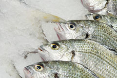 Ice-cold marine fishes Royalty Free Stock Photos