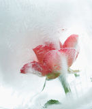 Ice cold rose Stock Image